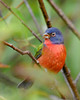 PaintedBunting(male)-EmeraldaMarsh-10-9-19-SJS-007