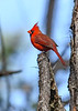Cardinal(male)-PineMeadows-1-24-20-SJS-001