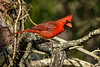 NorthernCardinal(male)-OcalaNF-5-4-20-SJS-01