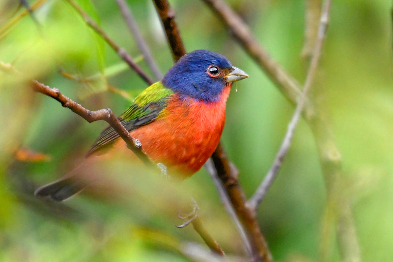 PaintedBunting(male)-EmeraldaMarsh-10-9-19-SJS-006