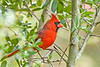 NorthernCardinal-LAWD-9-21-19-SJS-001