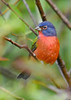 PaintedBunting(male)-EmeraldaMarsh-10-9-19-SJS-005