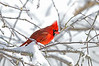 NorthernCardinal-male-2015-sjs-02