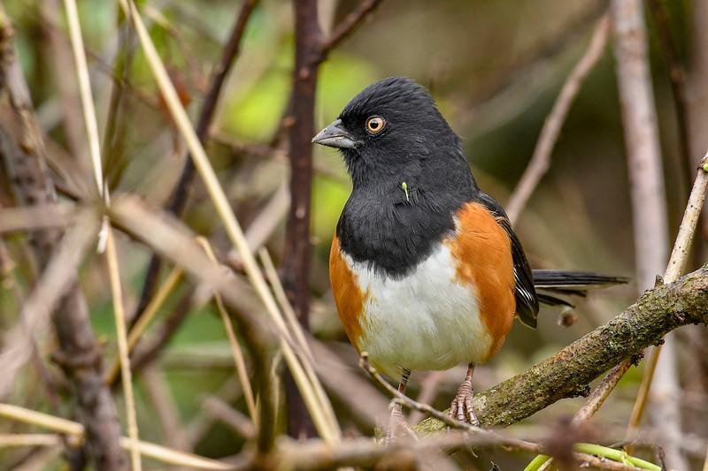 EasternTowhee(male)-PineMeadowsCA-12-24-19-SJS-001