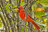 NorthernCardinal-EmeraldaMarsh-10-9-19-SJS-001