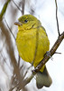 PaintedBunting(female)-LANS--12-7-20-sjs-003