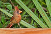 NorthernCardinal(female)-BokTowerFL-7-7-19-SJS-002
