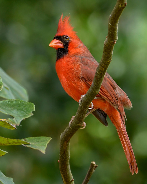 NorthernCardinal-BourlayNatureParkFL-10-15-19-SJS-002