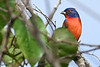 PaintedBunting(male)-LAWD-12-29-18-SJS-003