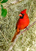 NorthernCardinal(male)-LakeYale-4-17-20 -SJS-001