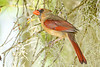 NorthernCardinal-LYE-3-9-19-SJS-002
