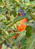 PaintedBunting(male)-EmeraldaMarsh 10-22-19-SJS-001