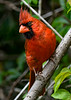 NorthernCardinal-PineMeadowsCA-6-17-20-SJS-02