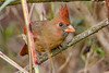 NorthernCardinal(female)-PineMeadowsCA-11-10-20-sjs-03