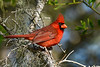NorthernCardinal(male)-OcalaNF-5-7-20-SJS-01