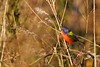 PaintedBunting-male-LAWD-1-7-18