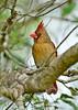 Cardinal-Female-OrlandoWetlandsFL-3-6-17-SJS-001