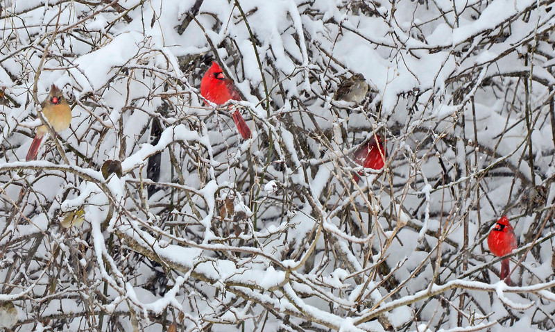 NorthernCardinals-2015-sjs-07