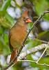 NorthernCardinal(female)-EmeraldaMarsh 10-22-19-SJS-001
