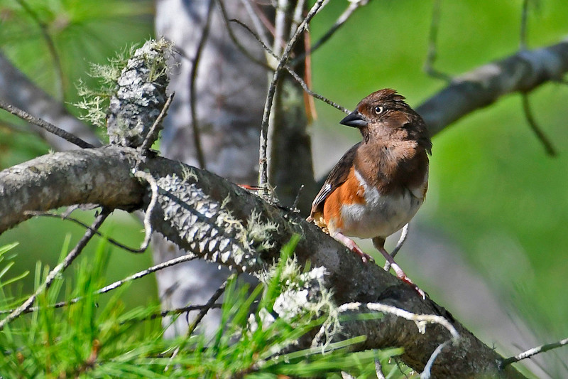 EasternTowhee(female)-OcalaNF-9-8-18-SJS-002