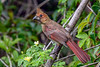 NorthernCardinal-PineMeadowsCA-6-17-20-SJS-01