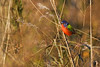 PaintedBunting-LAWD-1-7-18-001