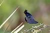 Phainopela(male)-2015-005