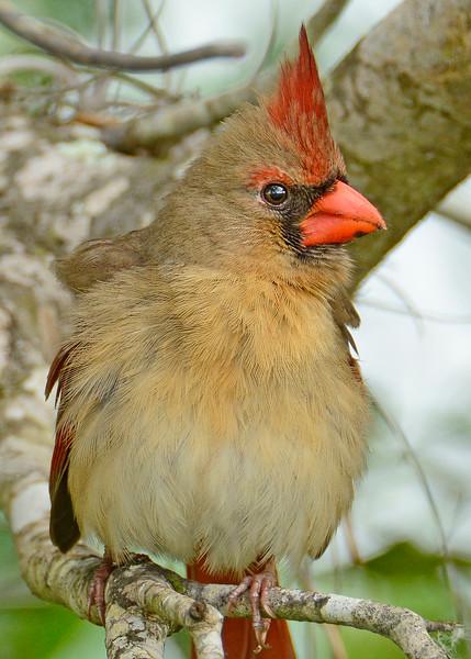 Cardinal-Female-OrlandoWetlandsFL-3-6-17-SJS-002