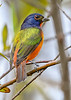 PaintedBunting(male)-EmeraldaMarsh 10-25-19-SJS-006