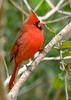 NorthernCardinal(male)-PineMeadowsCA-1-31-19-SJS-003