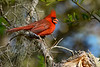 NorthernCardinal(male)-OcalaNF-5-7-20-SJS-02
