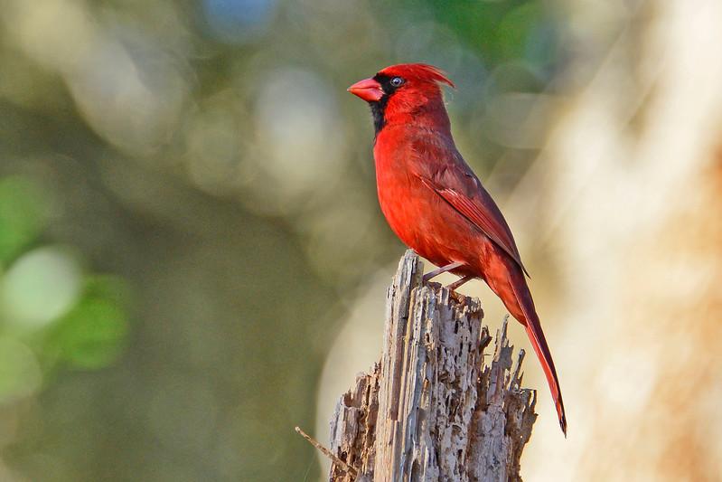 CardinalMale-LakeYaleEstatesFl-1-14-17-SJS-003