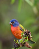 PaintedBunting(male)-EmeraldaMarsh-10-9-19-SJS-001