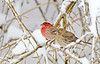 HouseFinch-female-male-2015-sjs-01