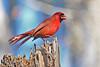 CardinalMale-LakeYaleEstatesFl-1-14-17-SJS-023