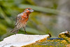 HouseFinch-FortDeSoto-4-22-19-SJS-002