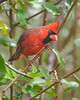 NorthernCardinal(male)-PineMeadowsCA-12-13-20-sjs-001
