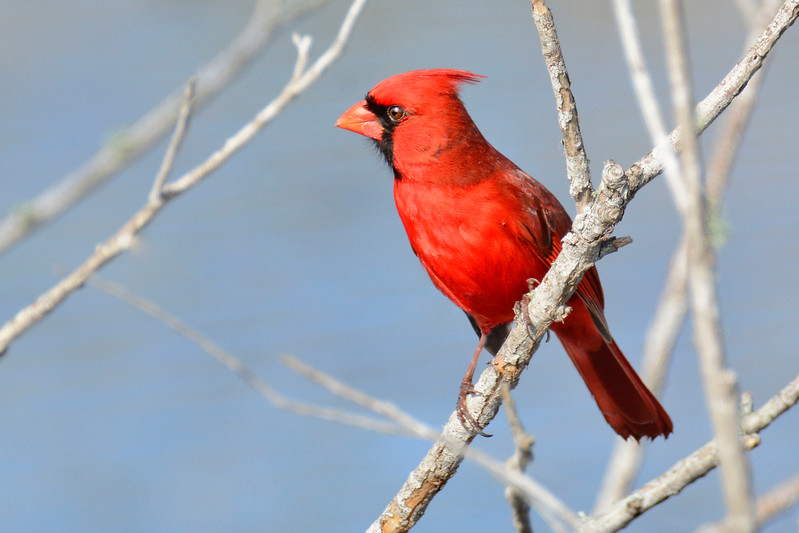NorthernCardinalMale-LAWD-2-24-17-SJS-002