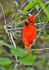 NorthernCardinal(male)-EmeraldaMarsh-4-24-20-SJS-001