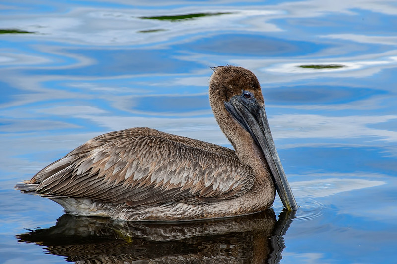 BrownPelican-TarponSprings-3-12-19-SJS-004