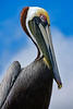 BrownPelican-TarponSprings-3-12-19-SJS-016