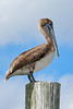 BrownPelican-TarponSprings-3-12-19-SJS-005
