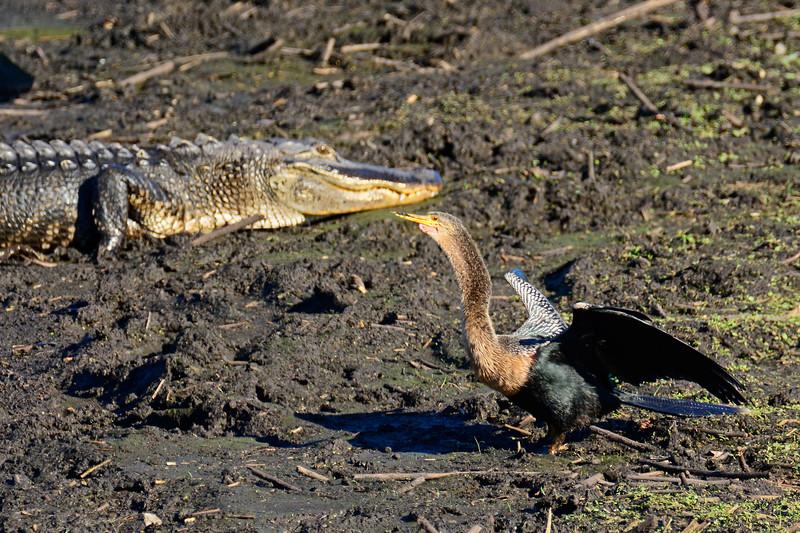 Anhinga&Alligator-PaynesPrairieSP-FL-1-24-17-SJS-04