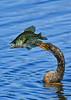 Anhinga-Fish-LAWD-3-29-19-SJS-004
