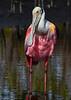 RoseateSpoonbill-MerrittIslandNWR-1-21-19-SJS-009