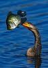 Anhinga-Fish-LAWD-3-29-19-SJS-002