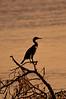 Double-CrestedCormorant-2015-sjs-03