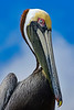 BrownPelican-TarponSprings-3-12-19-SJS-017