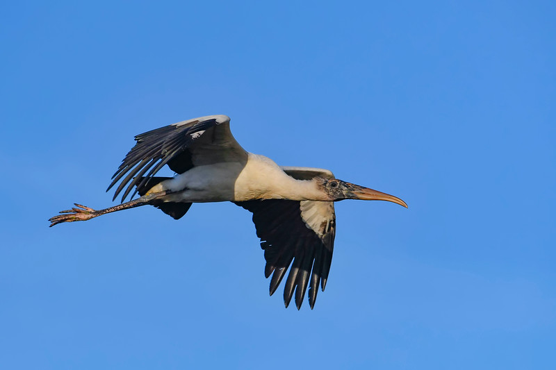 WoodStork-SweetwaterWetlands-12-20-19-SJS-005
