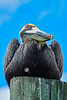 BrownPelican-TarponSprings-3-12-19-SJS-006